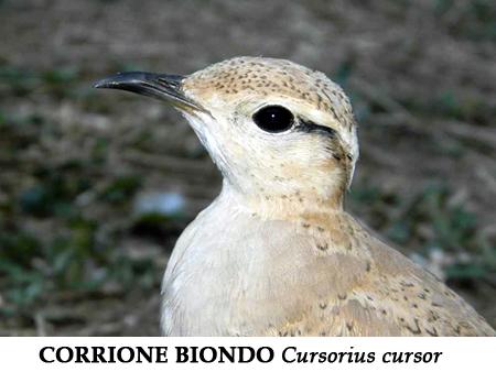 corrione1